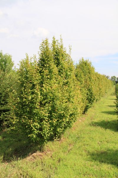 Carpinus Fransfontaine